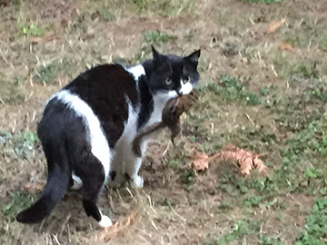 Dominic the cat carrying a chipmunk